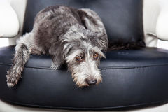 Dog Laying On furniture With Pawprint. Cute scruffy terrier mixed breed dog laying down on a leather chair with a guilty expression. Pawprints visible on chair royalty free stock images