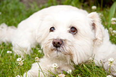 Dog laying in the grass Stock Photography
