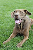 Dog laying in grass. Labrador  Pitbull mix lays in grass at ballpark Royalty Free Stock Photography