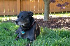 Dog laying in the grass royalty free stock photo