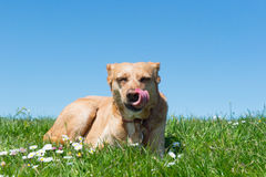 Dog laying in grass Royalty Free Stock Photography