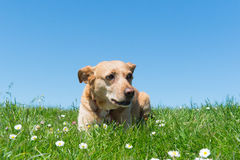 Dog laying in grass Royalty Free Stock Photo