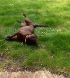 Dog Laying in the Grass Royalty Free Stock Photography
