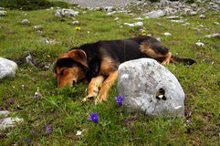 Dog is laying on the grass with flowers Stock Photo