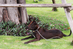 Dog laying on the green. Grass with the bundle on his month Royalty Free Stock Photography