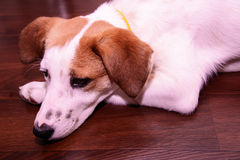 Dog laying on her paw Royalty Free Stock Photo