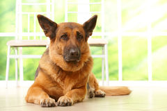 Dog laying in home royalty free stock photo