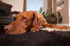 Dog laying on house floor stock images