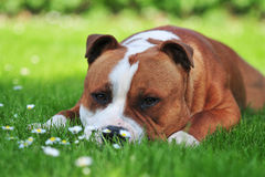 Dog laying on the lawn royalty free stock photo