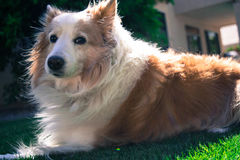 Dog laying out in the sun. Shetland Sheepdog catching some rays Royalty Free Stock Images