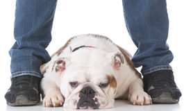 Dog laying between owners legs Stock Photos