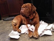 Dog laying on packing paper. Dogue de bordeaux laying on packing paper Royalty Free Stock Image