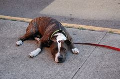 Dog laying on pavement in summer stock images