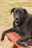 Dog laying on a picnic table bench. A portrait of a dog laying down on a picnic table while looking into the camera lens Stock Image