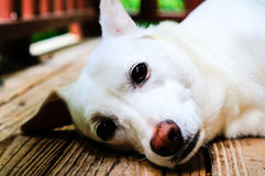 Dog laying on porch - close up shot. White lab mix dog laying on porch and looking at camera Royalty Free Stock Image