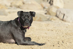 Dog laying on sand Royalty Free Stock Photography