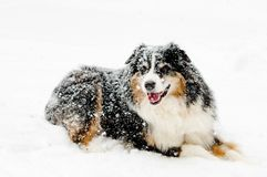 Aussie Dog laying in snow stock photo
