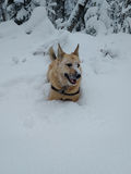 Dog laying in snow Royalty Free Stock Photography