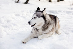 Dog is laying on snow Royalty Free Stock Images