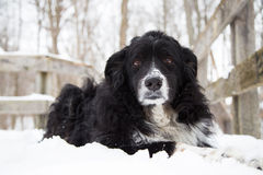 Dog laying in snow looking at camera Royalty Free Stock Photos