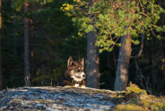 Dog is laying on the stone in the sunset light Stock Image