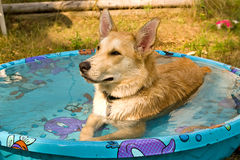 Dog laying in swimming pool Royalty Free Stock Photography