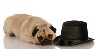 Dog laying beside top hat Royalty Free Stock Photo