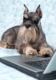 The dog lays Royalty Free Stock Images