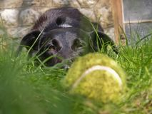 The dog looks at the ball Royalty Free Stock Photo