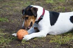 Dog lays on the ground and gnaws ball. Dog lays on the ground and gnaws a ball stock image
