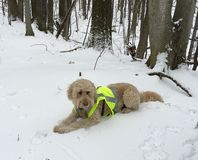Goldendoodle dog wears hunting vest while laying in snowy forest Stock Photos