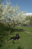 Dog lays under a blossoming tree Stock Photography
