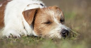 Dog laziness, lazy jack russell sleeping in the grass. Dog laziness, web banner of a cute lazy jack russell pet sleeping in the grass royalty free stock images
