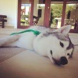 dog lazy Στοκ Εικόνα