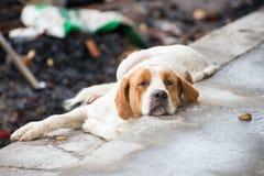 dog lazy Στοκ Εικόνες