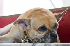 dog lazy Στοκ εικόνες με δικαίωμα ελεύθερης χρήσης