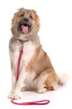 Dog with lead  over white background Royalty Free Stock Image