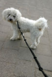 Dog on Lead- (Shallow Depth of Field). Bichon Frise on a lead stock images