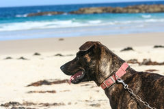 Dog on lead on white sandy beach looking at ocean Royalty Free Stock Photo