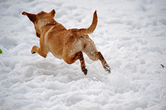 Dog leaping away from the camera in the snow royalty free stock image