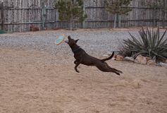 A dog leaping for a frisbee. Royalty Free Stock Photography
