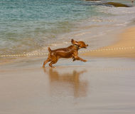 A dog leaping joyfully on a beach in the caribbean. A puppy chasing waves at lower bay, bequia Royalty Free Stock Photo