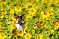 The dog leaping in sunflower meadows Royalty Free Stock Image