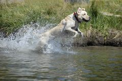 Dog leaping in to the water. Stock Photos