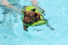 Dog learning to swim stock images