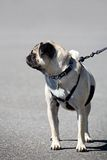 Dog on a leash Stock Images