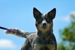Dog on a leash Stock Photos
