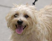 Dog on a leash. Blond long-hair dog on a leash stock photography