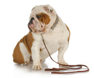 Dog on a leash Royalty Free Stock Images