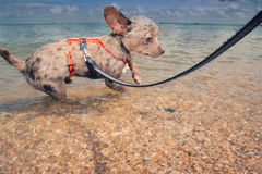 Dog on a leash Stock Image